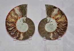 Ammoniten Paare B-Qualität Madagaskar
